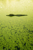 alligator, sunset, duckweed, Fakahatchee Strand Preserve State Park, Florida, lake