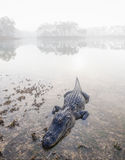 alligator, gator, everglades national park, fog, foggy