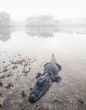 Foggy Gator