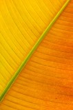 heliconia, leaf