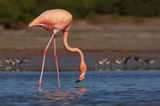 American Flamingo, Phoenicopterus ruber, everglades, florida bay