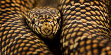 Lampropeltis getula brooksi, kingsnake, brooks king, south florida kingsnake, florida kingsnake