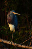 Egretta tricolor, tricolored heron, everglades, florida