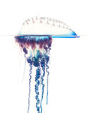 Portuguese Man-of-War, Physalia physalis, florida