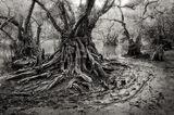 big cypress, pond apples, Florida, nature, photography