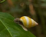 liguus tree snail, liguus fasciatus