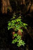 cypress, virginia creeper, Parthenocissus quinquefolia, swamp, big cypress, Florida, nature, photography