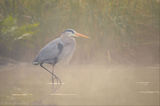 Foggy Blue Heron