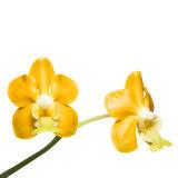 flower, tropical, flora, vanda denisoniana