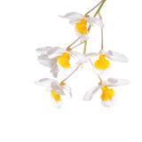 flower, tropical, flora, dendrobium farmeri