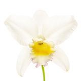 flower, tropical, flora, cattleya