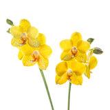 flower, tropical, flora, phalaenopsis, orchid
