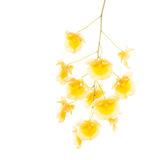 flower, tropical, flora, dendrobium aggregatum