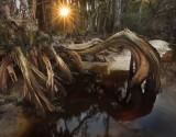 cypress, root, fisheating creek, florida, south florida, nature, photography