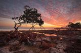 Mangrove and Mackeral Sky