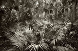 Saw Palmetto, Serenoa repens, Cabbage Palms, Sabal palmetto, fisheating, creek wildlife management, Fisheating Creek, florida, south florida, nature, photography
