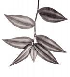 bw, monochrome, plants, flora, Tradescantia