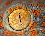 tokay gecko, gecko gecko, eye