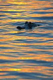 univeristy of florida, UF, gator, alligator,