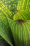 vriesea gigantea, bromeliad