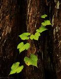 wild grape, cypress, swamp, big cypress, Florida, nature, photography