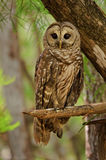 barred owl, strix varia, everglades, florida