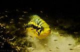 Parachromis loisellei, cichlid, underwater