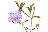 Thickleaf Wild Petunia, Ruellia succulenta