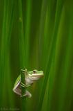 Green Tree Frog, Everglades National Park, Florida