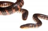 Eastern Mud Snake, Farancia abacura abacura
