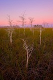 dwarf bald cypress, taxodium distichum, everglades, Florida, nature, photography