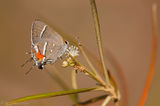 Bartram's Hairstreak, Butterfly, Strymon acis bartrami, pineland croton, croton linearis, Key Deer National Wildlife Ref