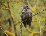 barred owl, strix varia, Hoh Rainforest, Olympic National Park, Washington