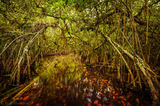 Turner River, Big Cypress National Preserve, Florida, mangrove tunnel