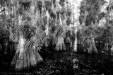 big cypress, bromeliad, swamp, Florida, nature, photography