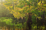 fisheating, creek, cypress, glow, florida, south florida, nature, photography