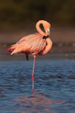 Phoenicopterus ruber, american flamingo, everglades national park, florida bay