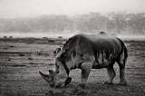 Ceratotherium simum, white rhino, lake nakuru, rain, kenya, africa