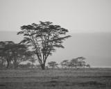 fever tree, Acacia xanthophloea, mosquito, malaria, lake nakuru, kenya, africa