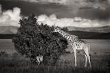 Giraffa camelopardalis tippelskirchi, masai giraffe, masai mara, kenya, africa
