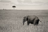elephant, acacia, kenya, africa, masai mara