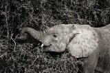 elephant, samburu, kenya, africa