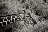 Giraffa camelopardalis reticulata, reticulated giraffe, samburu, kenya, africa