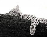 Panthera pardus, leopard, samburu, kenya, africa