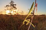preying mantis, everglades national park, sun
