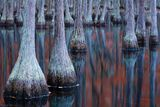 cypress, swamp, fall