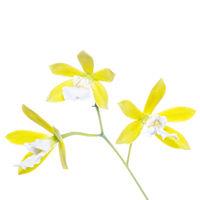 Encyclia Hybrid Yellow print
