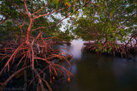 Mangrove Light print