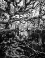 Fisheating Oak print