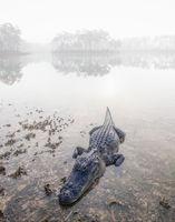 Foggy Gator print